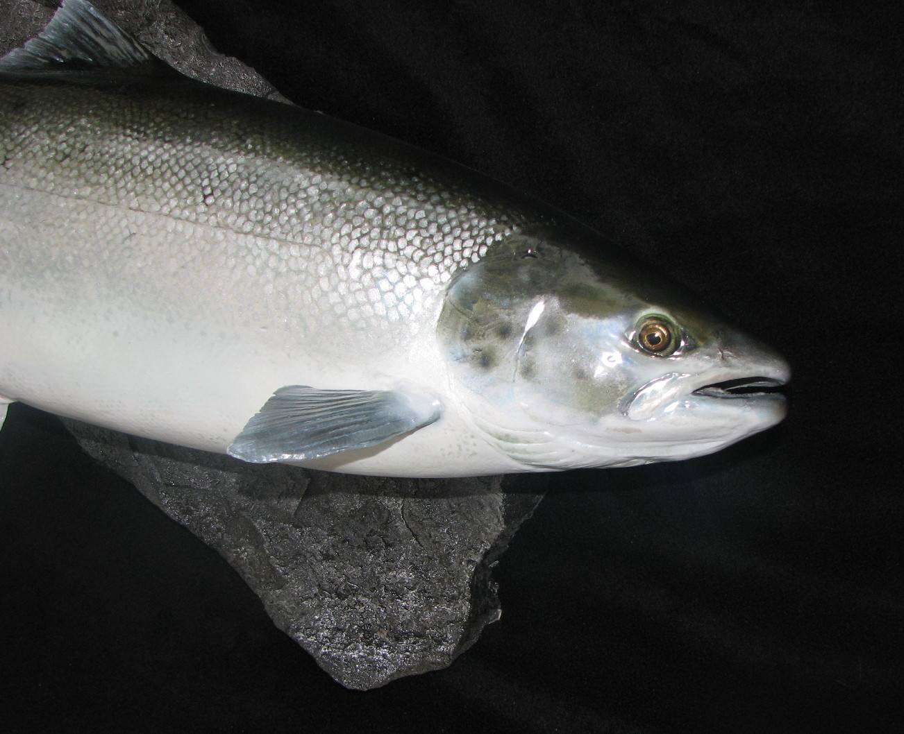 Atlantic Salmon 13lb