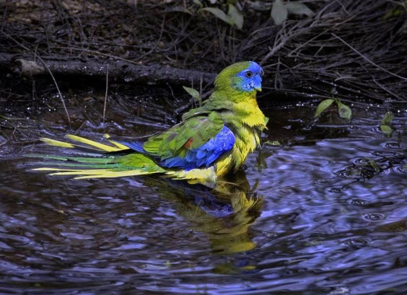 Torquoise Parrot