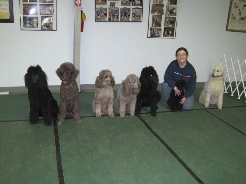 Oodles of poodles!  (L to R, Pepper, Penny, Airly, Amber, Maxwell, Phoenix, Zowe) 3/24/10.