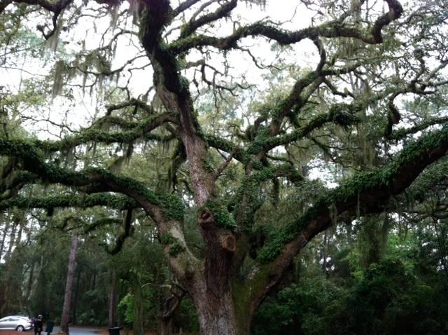 Live oak with ferns