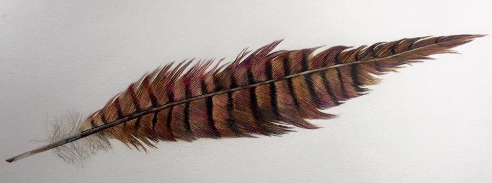 Pheasant Feather Study