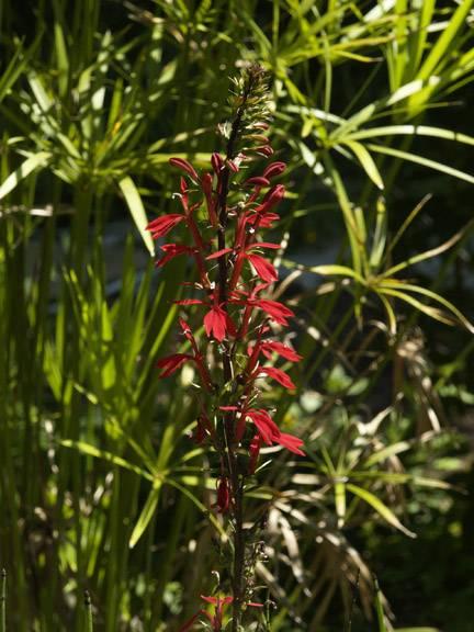 Cardinal Flower close-up