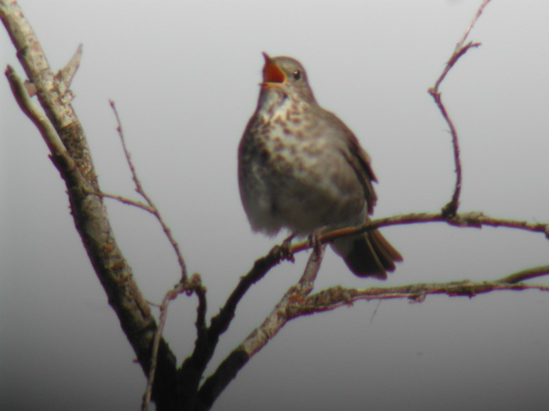 Grey-cheeked Thrush  (Grive à joues grises)