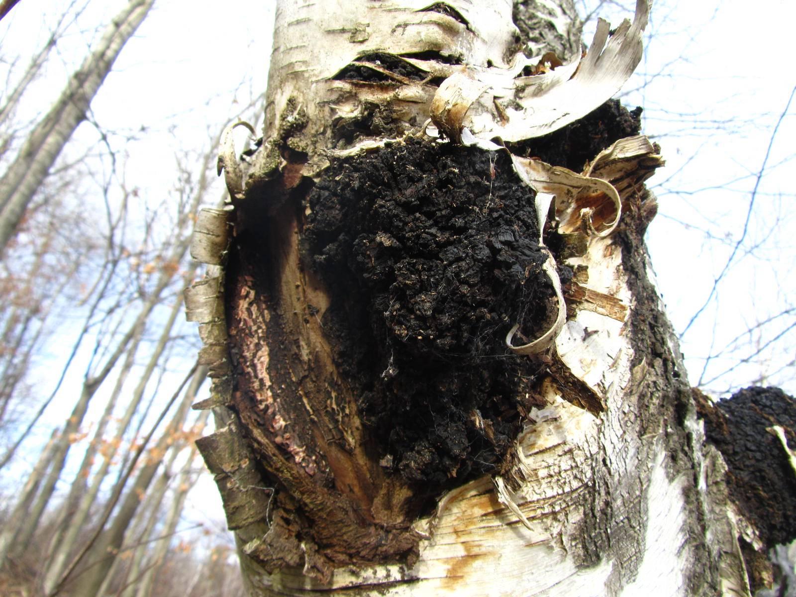 Chaga Mushroom (Inonotus obliquus)