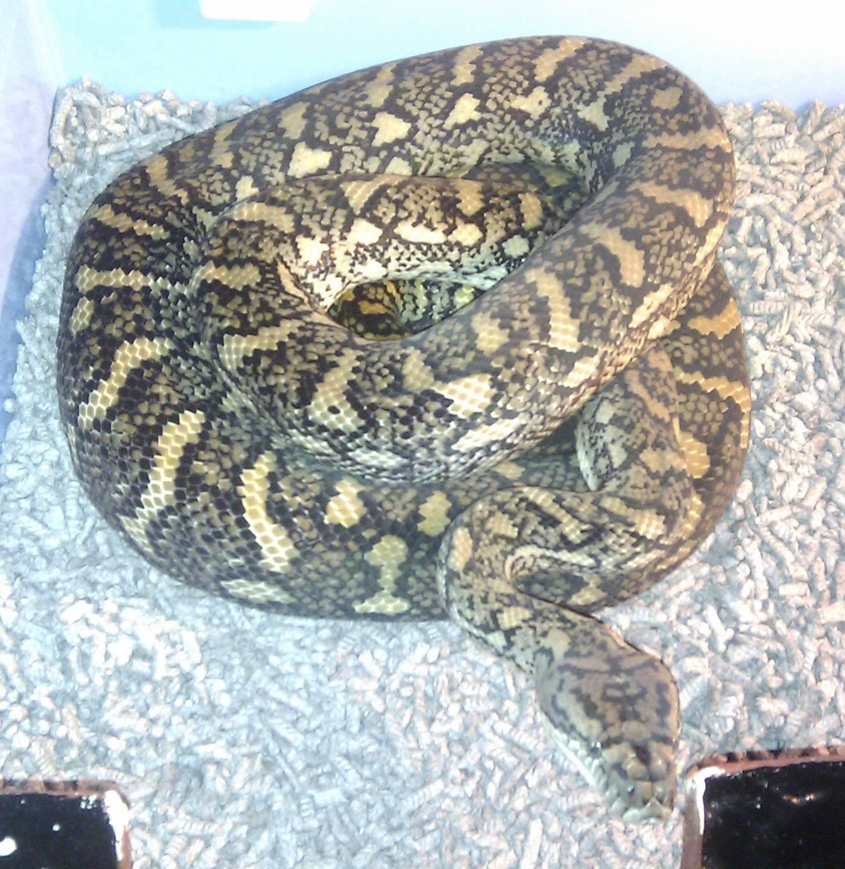Coastal Carpet Qld Female Breeder #1