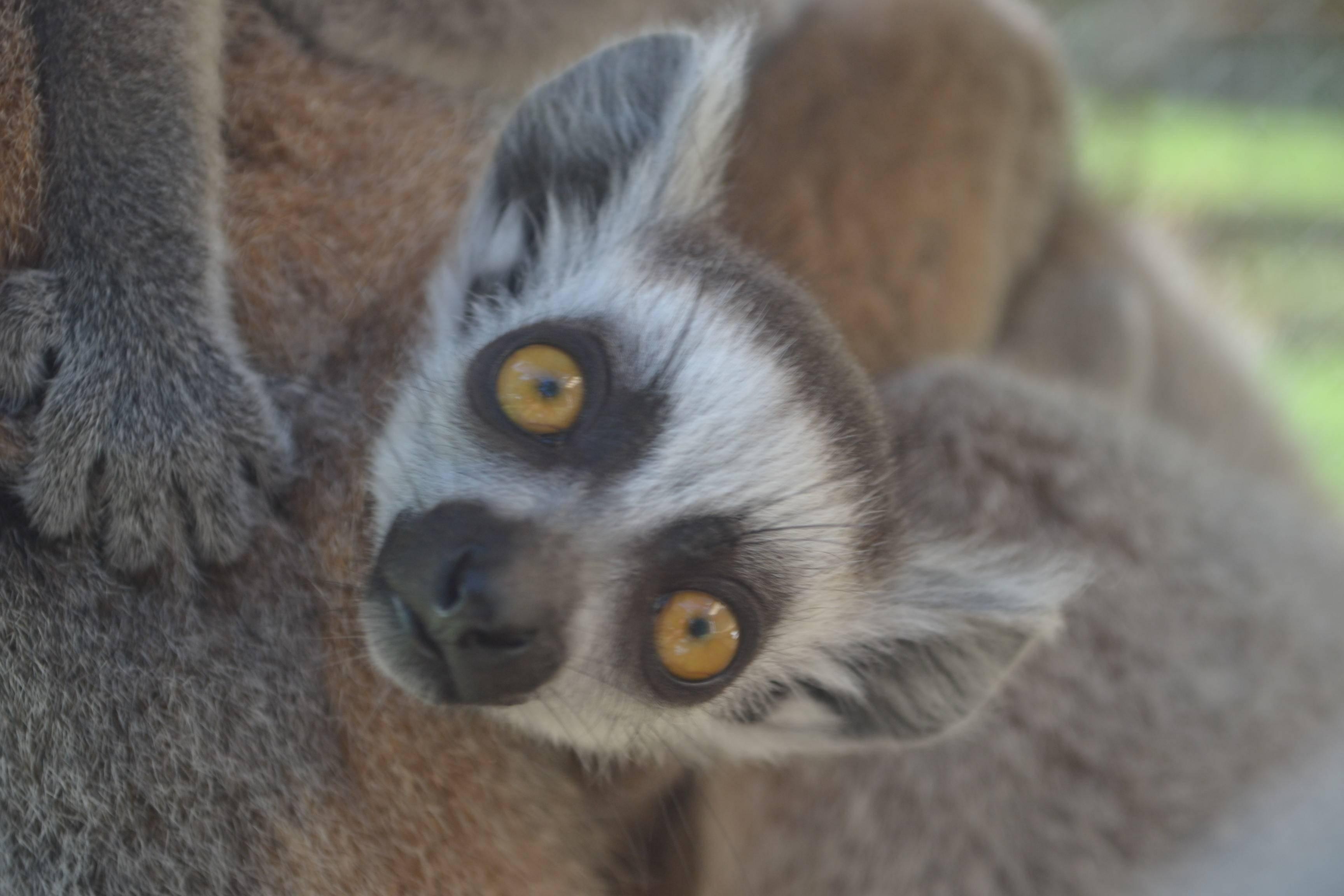 new lemur babies 6-3-14