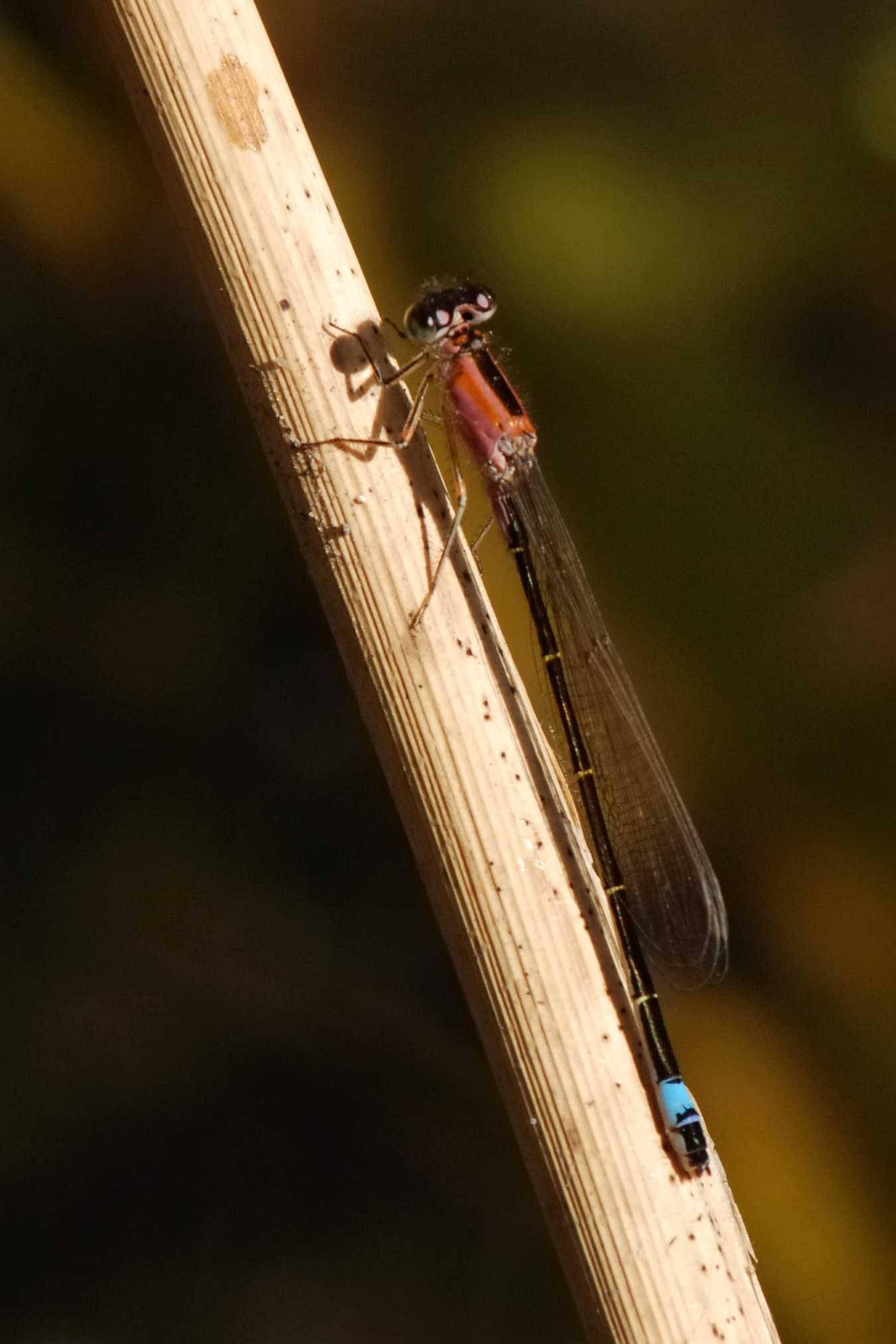 Common Bluetail - ISCHNURA ELEGANS