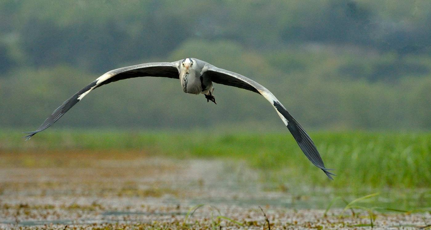 Gros porteur - Heron in flight