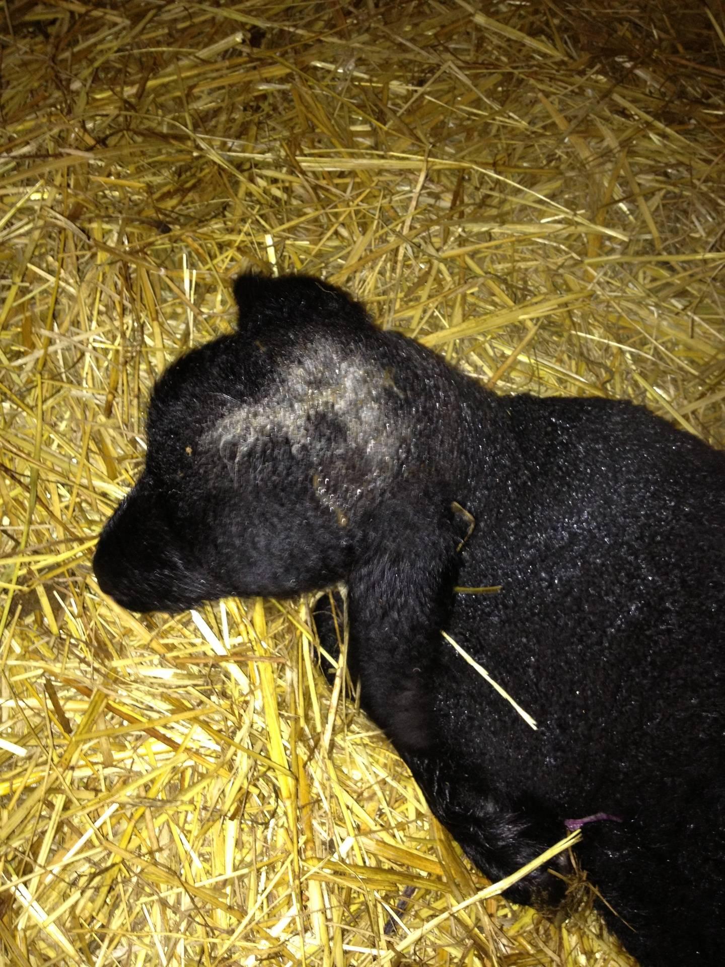 Das diesjaehrige schwarze Schaf
