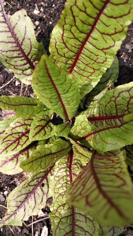 Blood Veined Sorrel