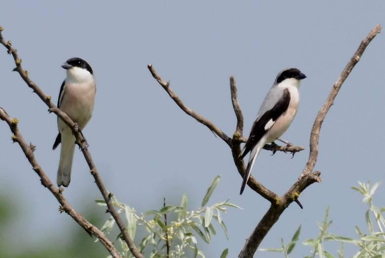 Lesser Grey Shrike  -  PIE -GRIECHE A POITRINE ROSE