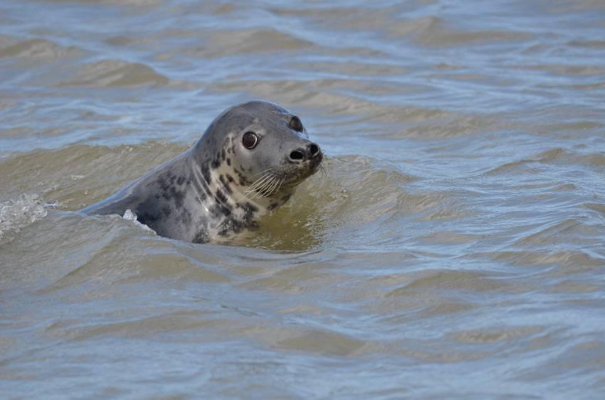 Grey Seal   PHOQUE GRIS