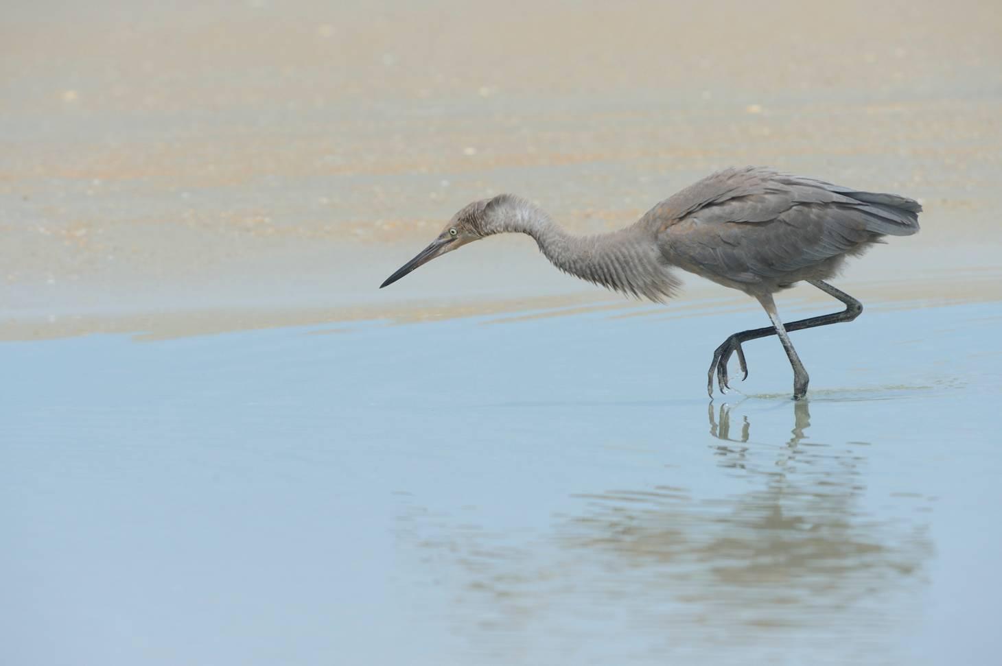 Petit héron bleu - Little blue heron