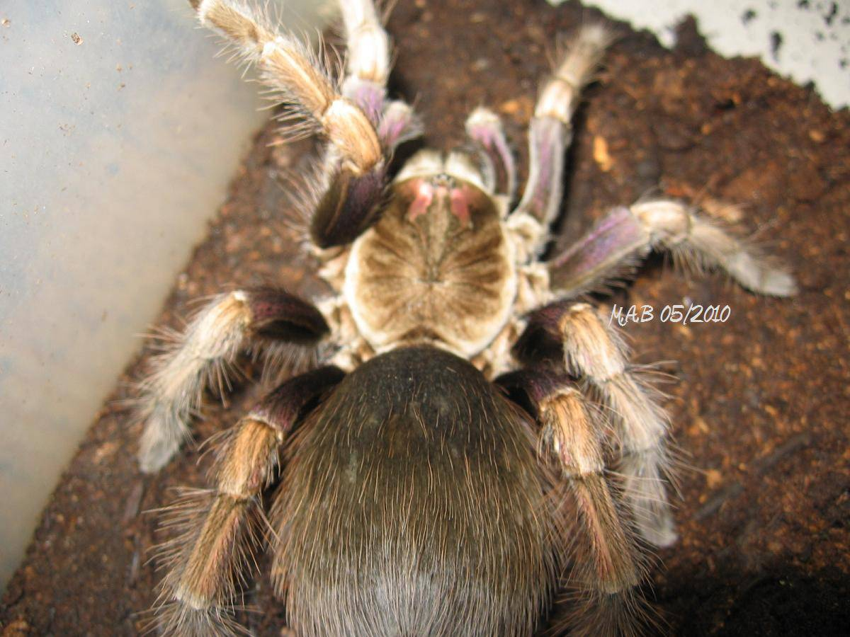Pamphobeteus ultramarinus
