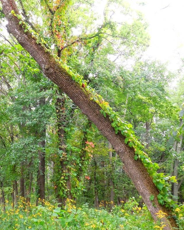 Viney Tree