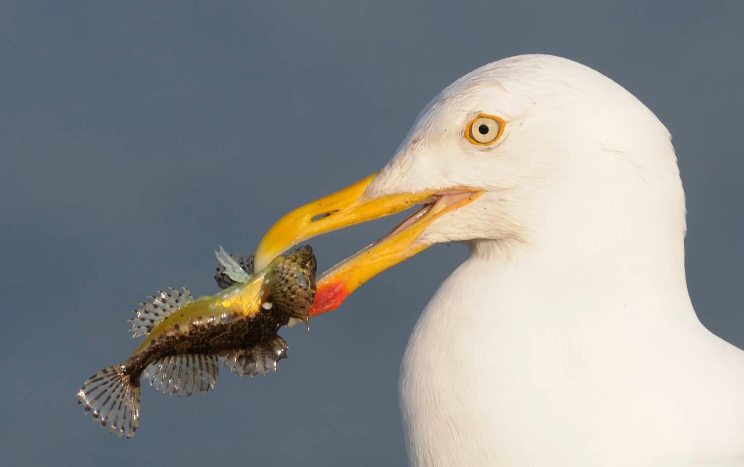 Goéland - Herring gull