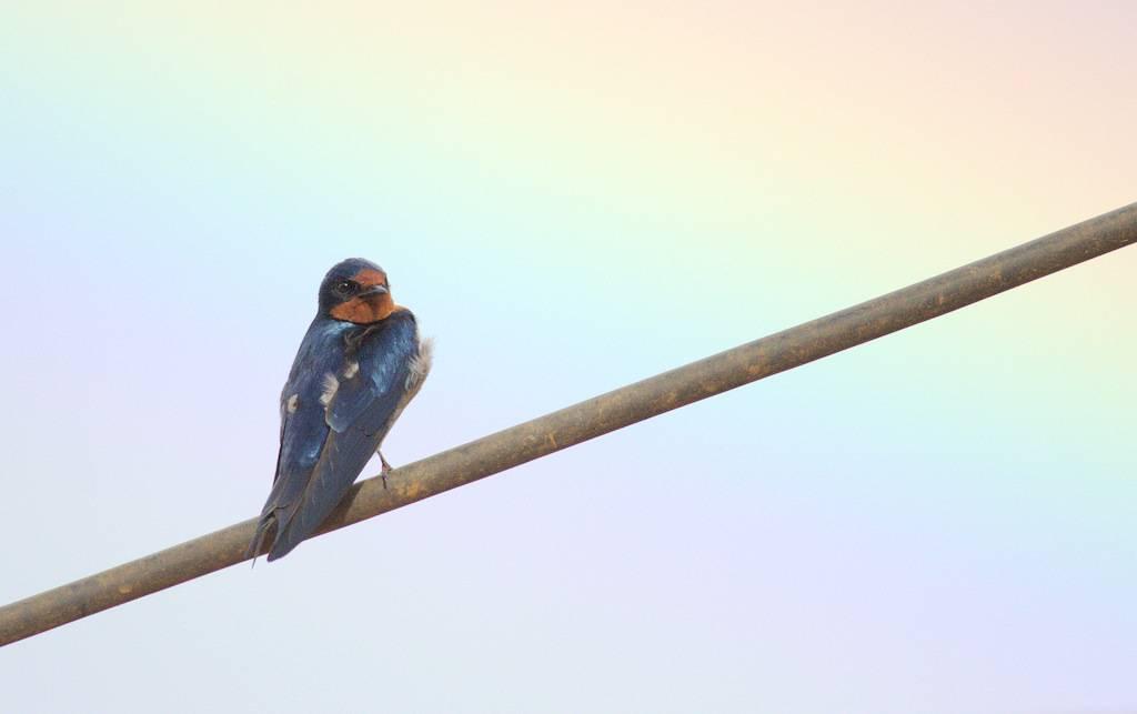 Angola Swallow (and rainbow)