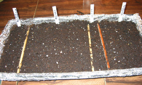 Seedlings covered with soil