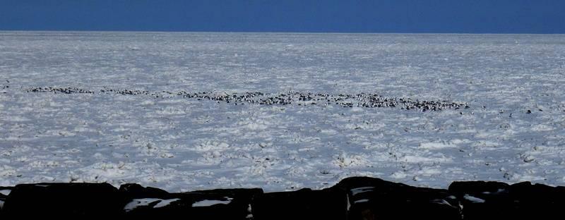 Gulls on Frozen Erie
