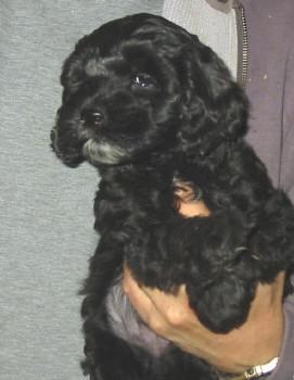 black mini goldendoodle