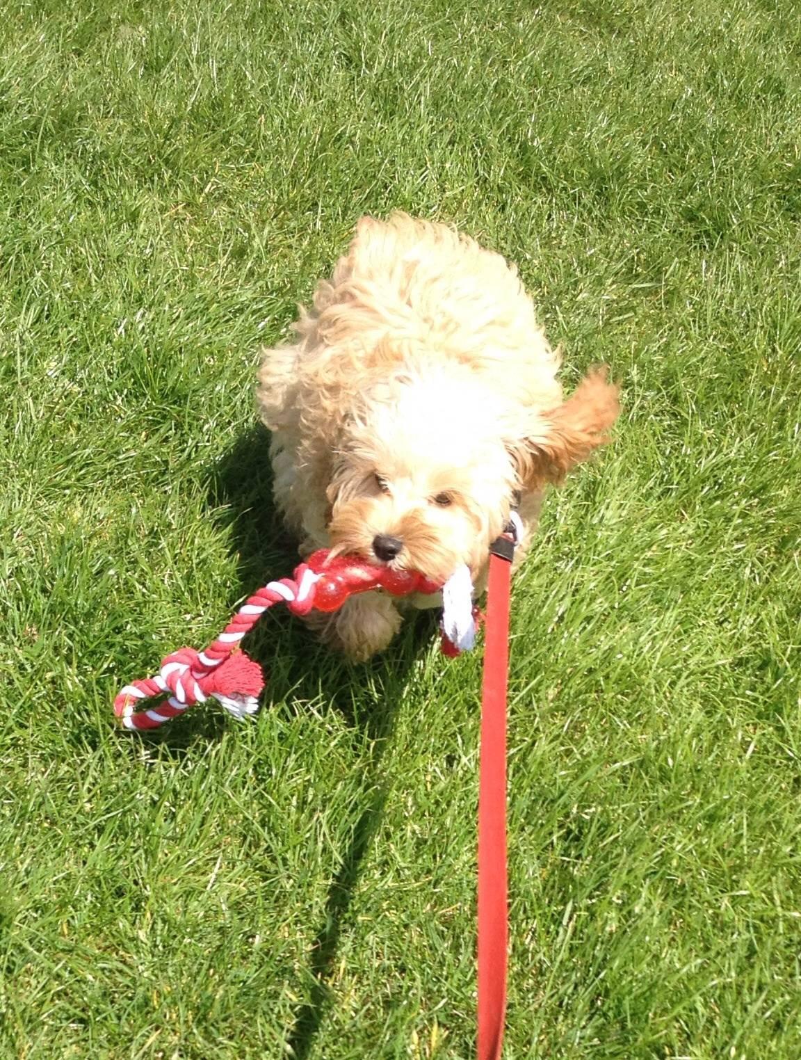 Georgie playing fetch