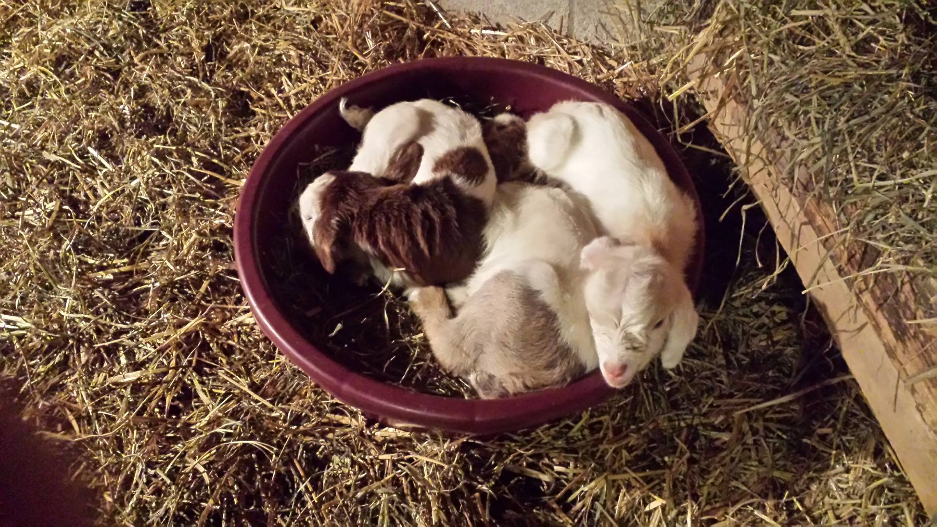 3 Goats in a tub!
