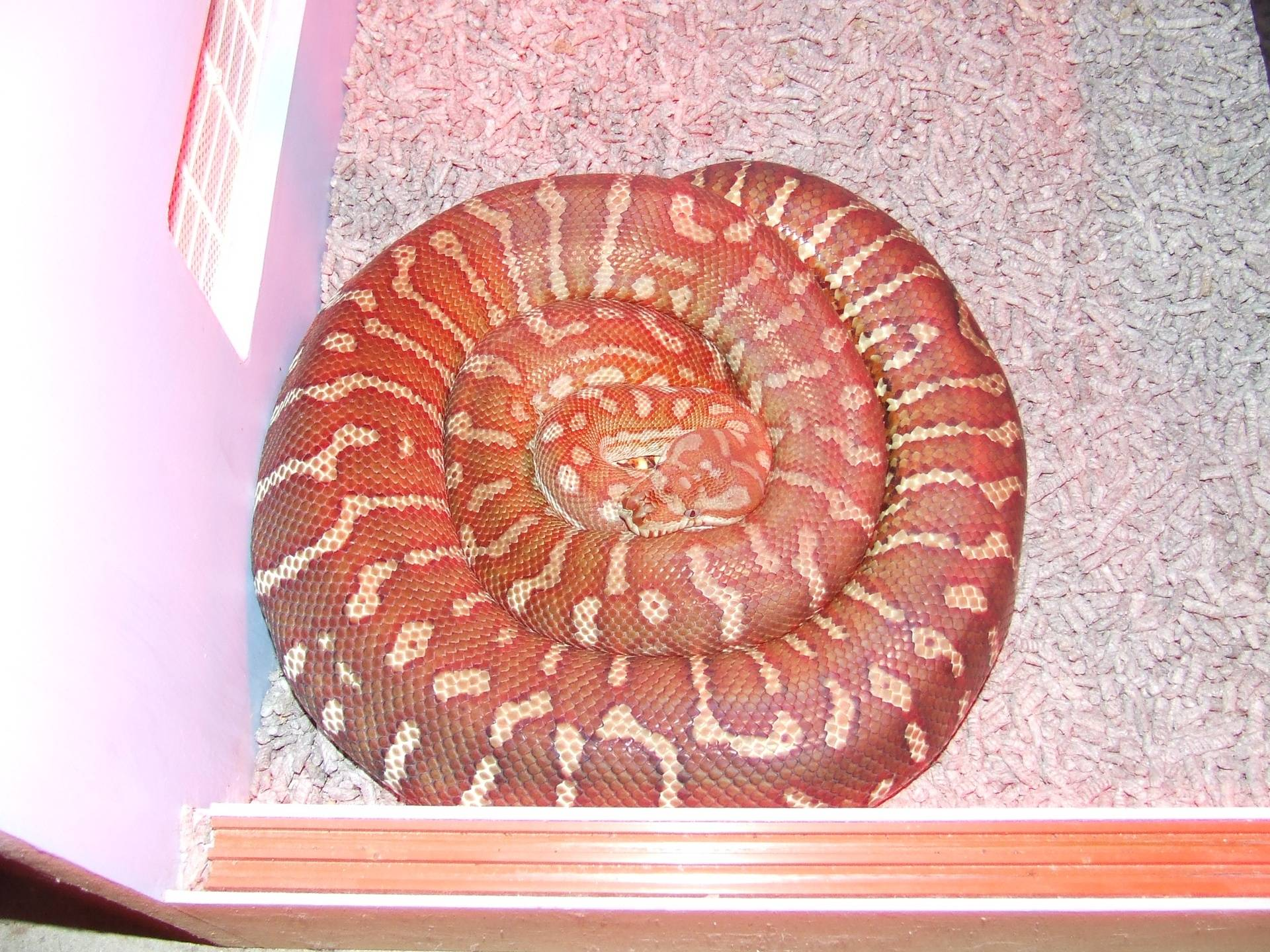 Centralian carpet Male breeder #1