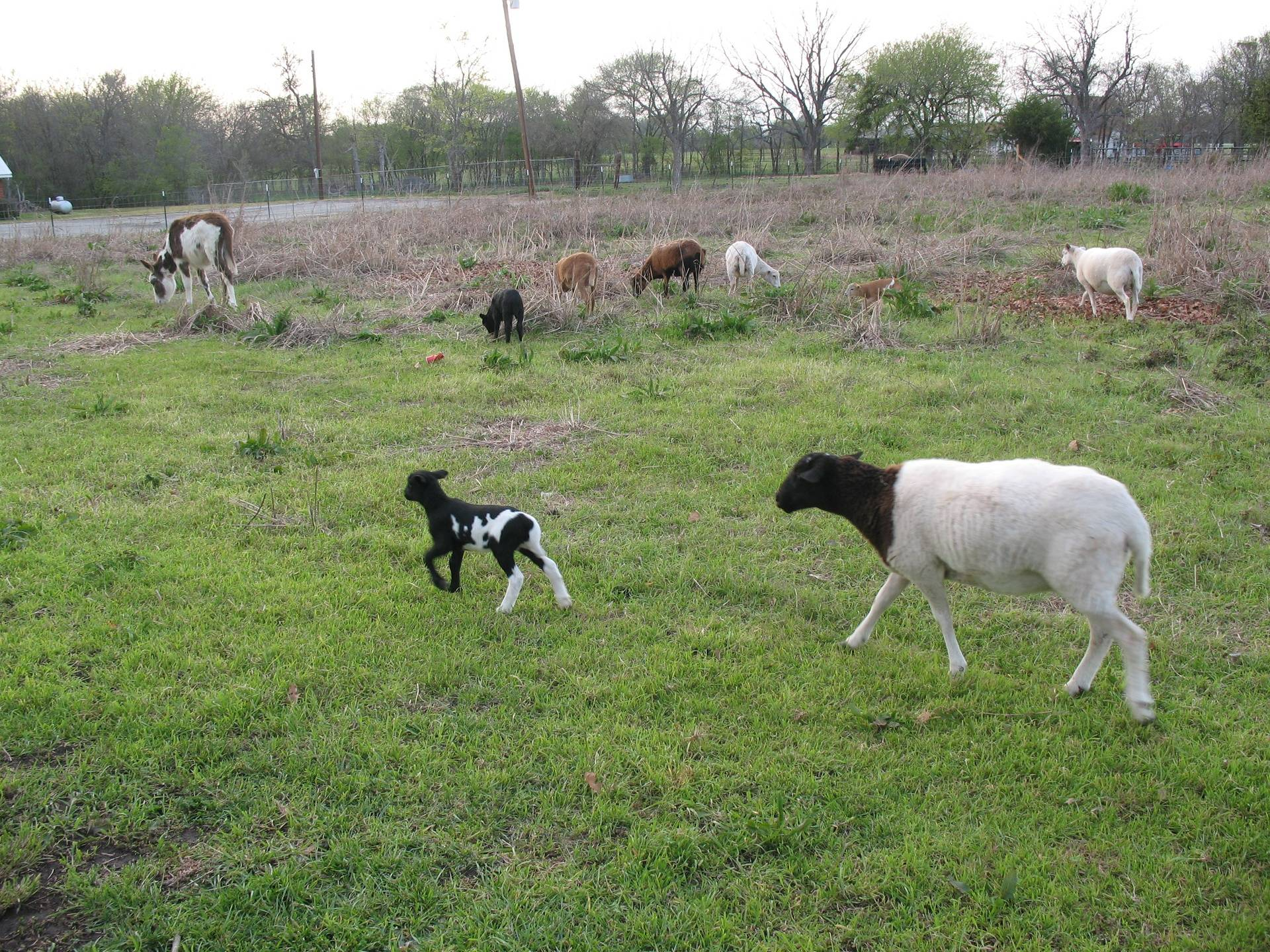 Flock grazing spring 2013