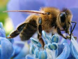 Blue close up bee