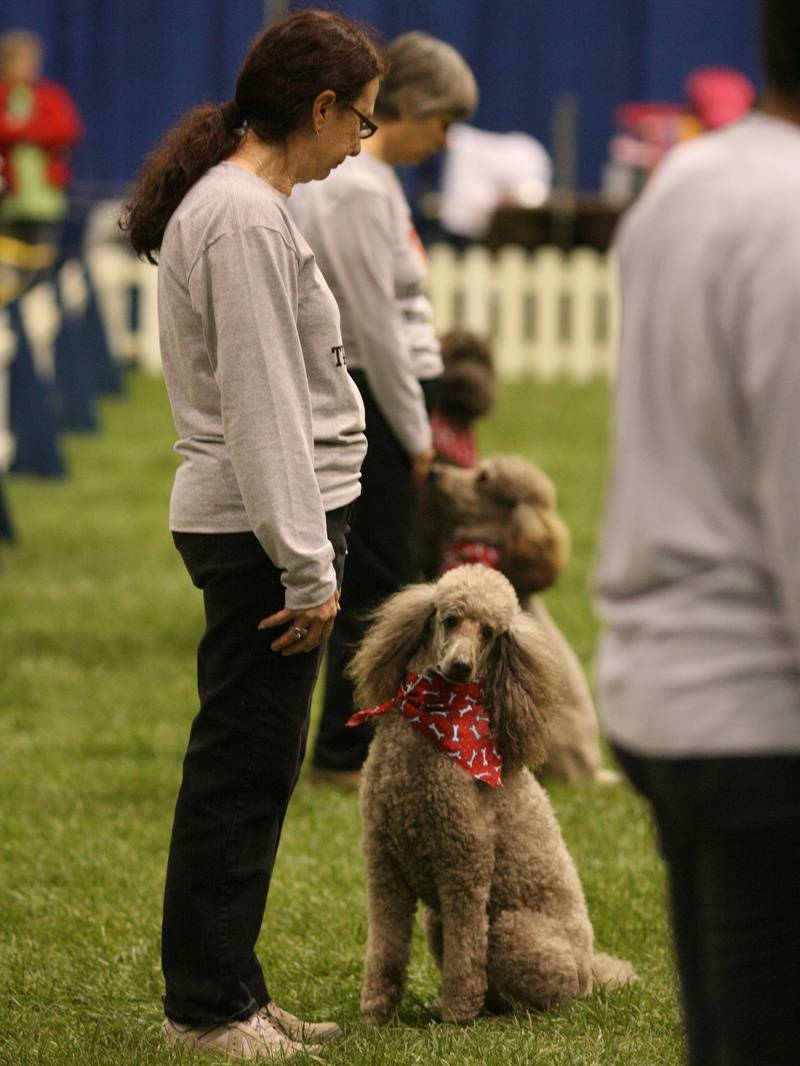 Team Poodle recall at PCA National Specialty. Amber, Airly, and Penny.  4/27/10.