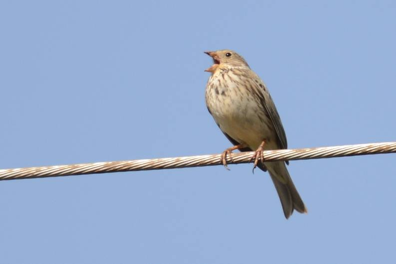 Corn Bunting  (BRUANT PROYER)