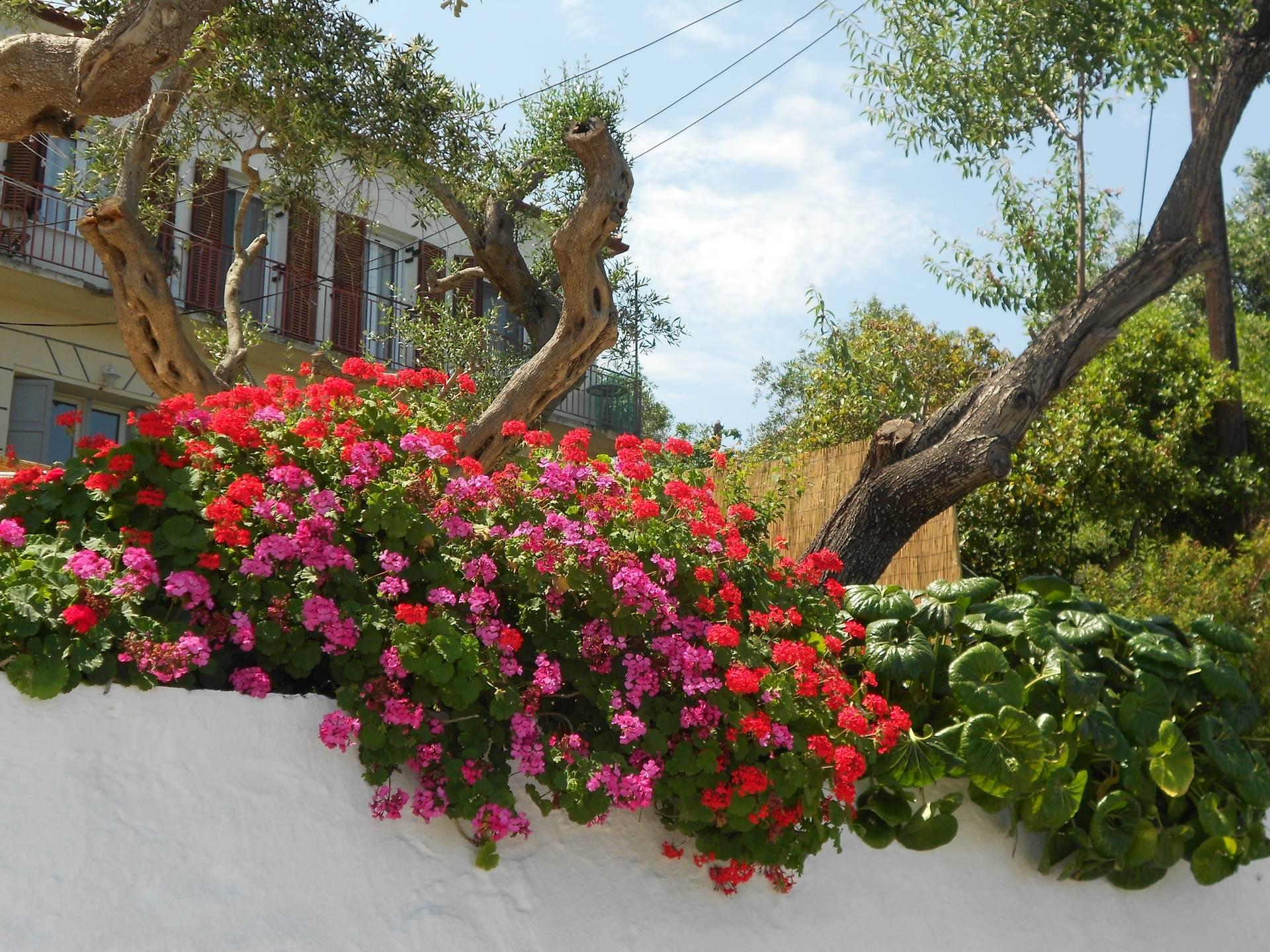 Beautiful geraniums