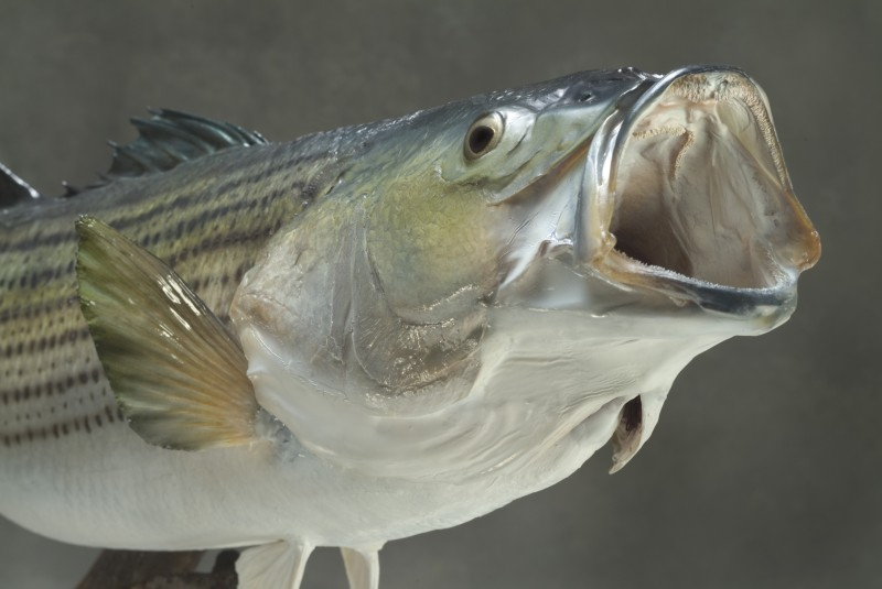 Close up of swimming striped bass