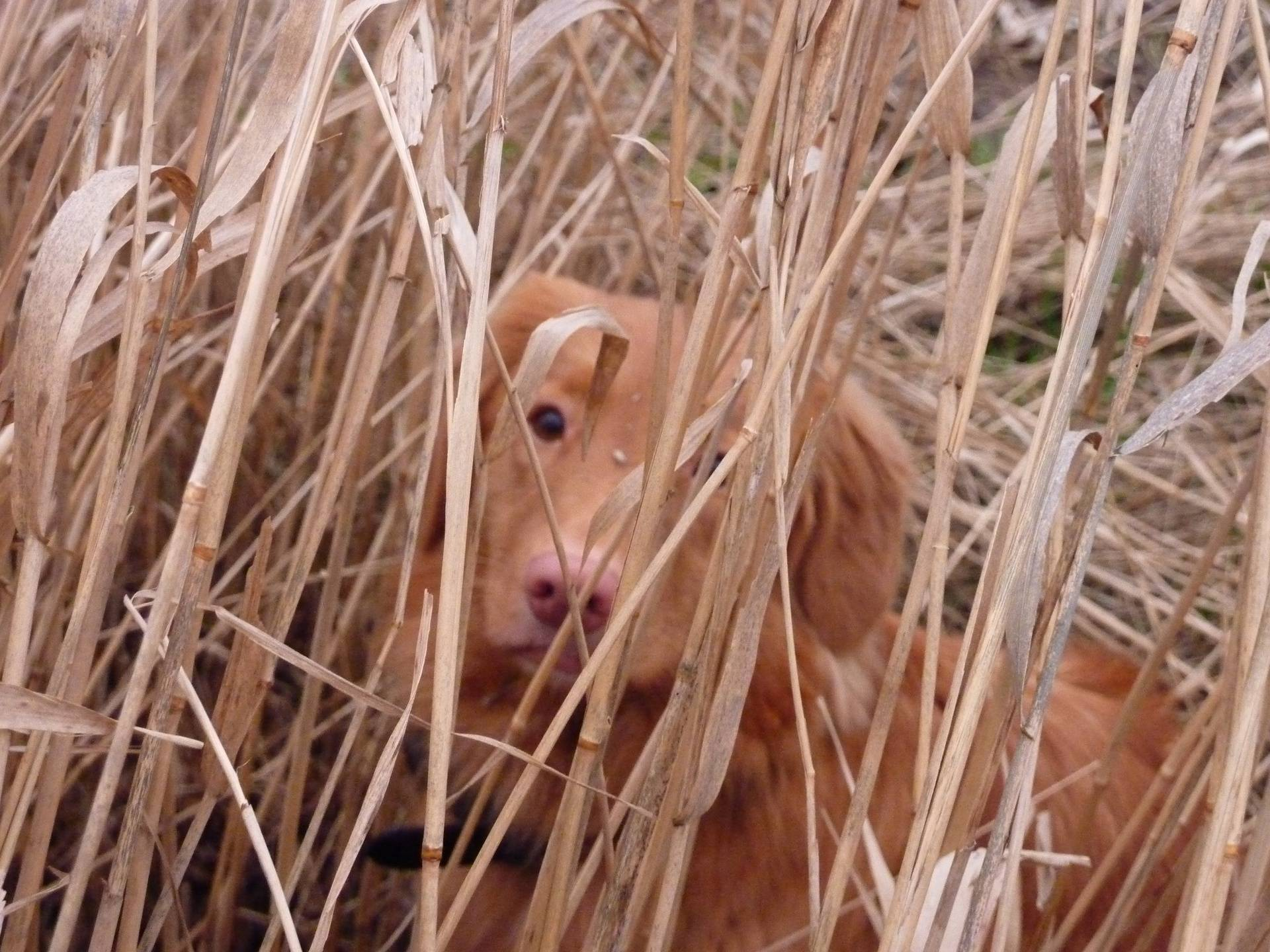 Us tollers don't need a blind