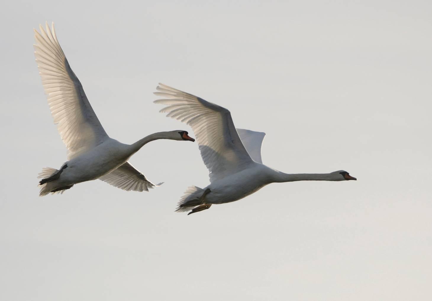 Cygnes - Swans