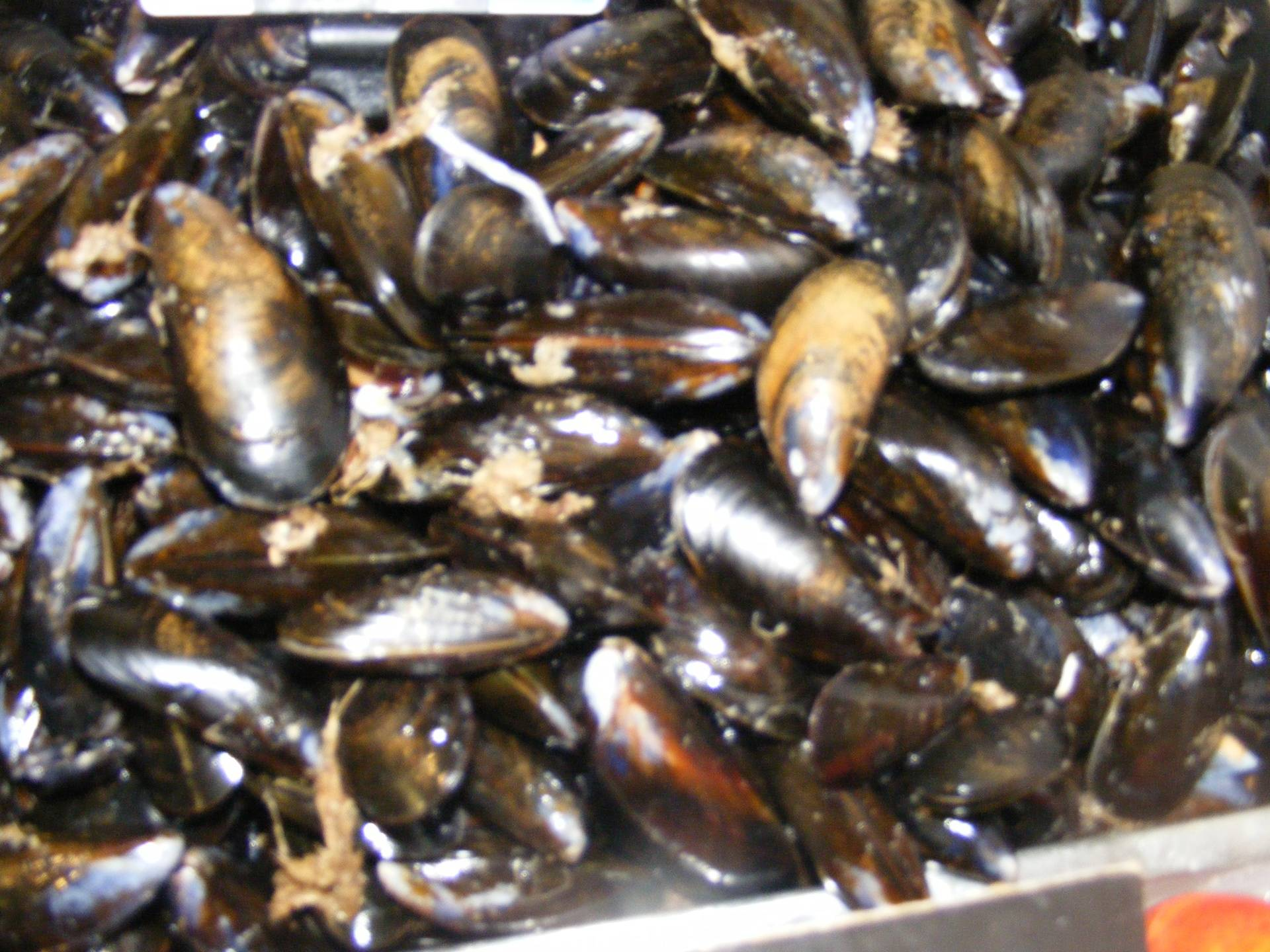 live rope grown mussels
