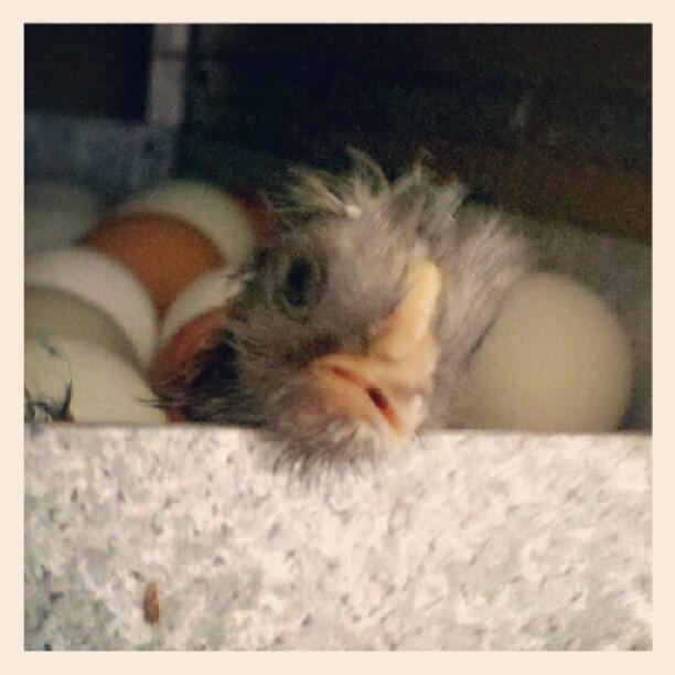 First Hatchling