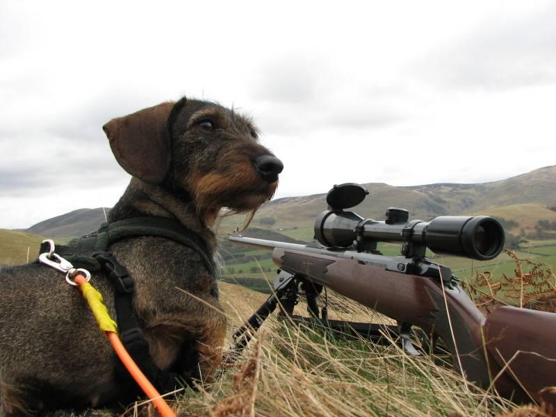 Aya, gun dog