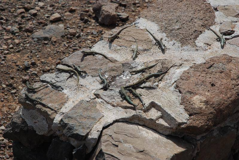 Lots of Maderian lizards!