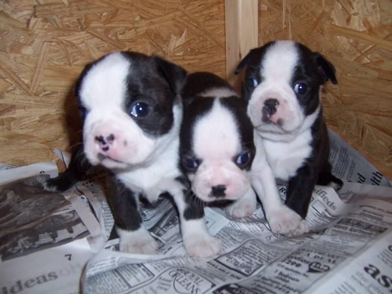 3 Boston Puppies