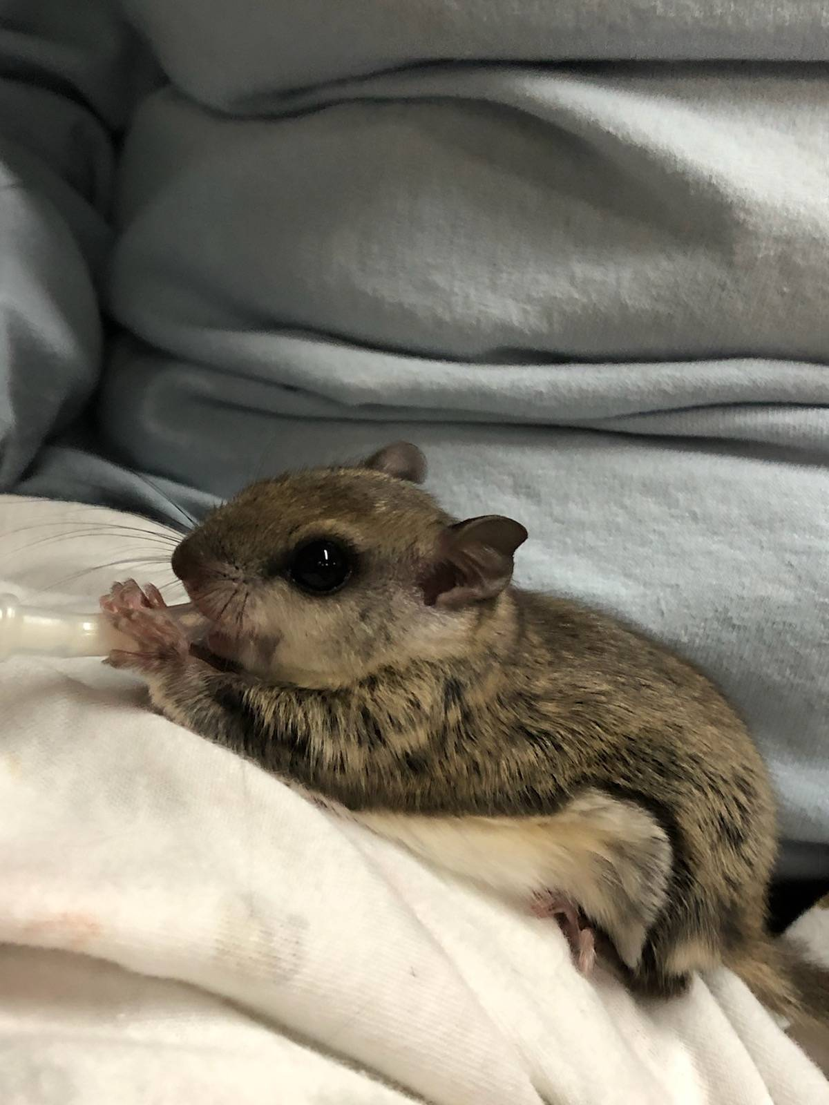 Juvenile Southern Flying Squirrel