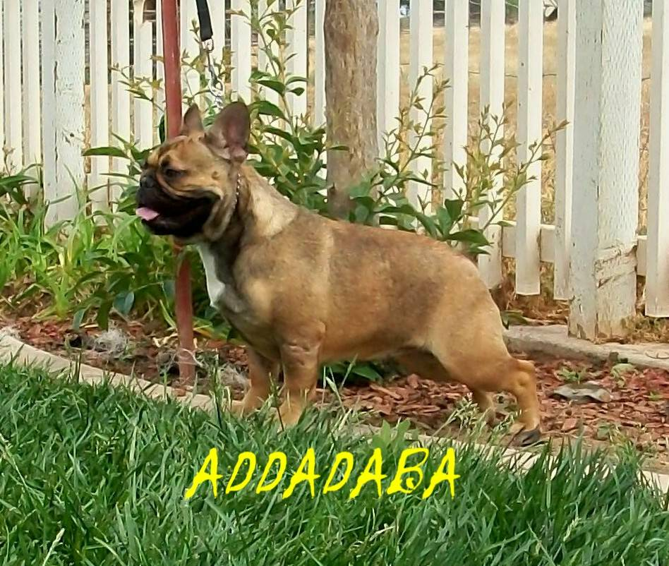 ADF CH Lilac Nation AddadabaButterball - NOT BREEDING