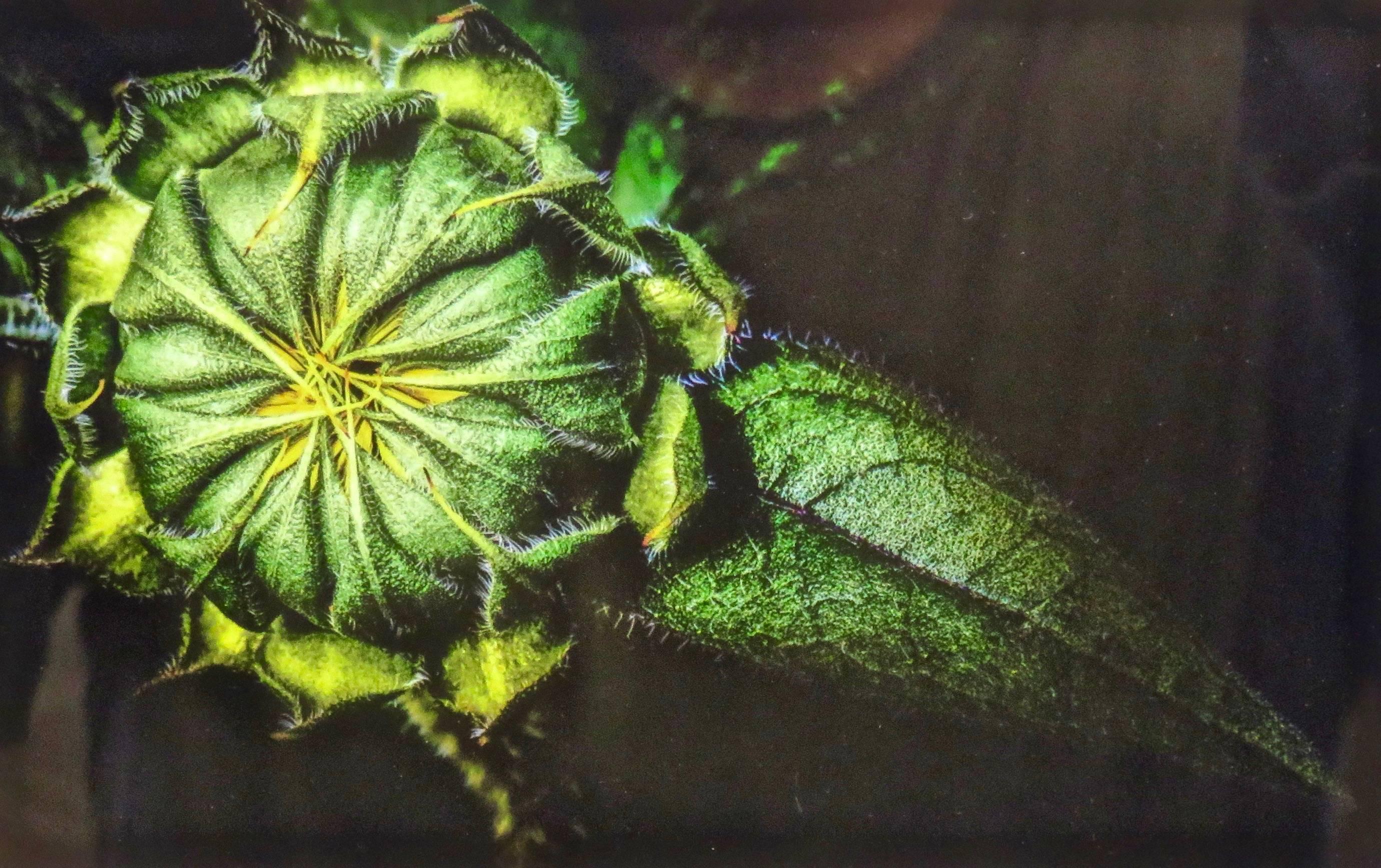 Sunflower Bud 1 - Enterprise