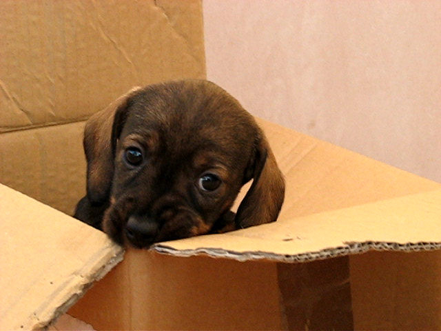 pup in box