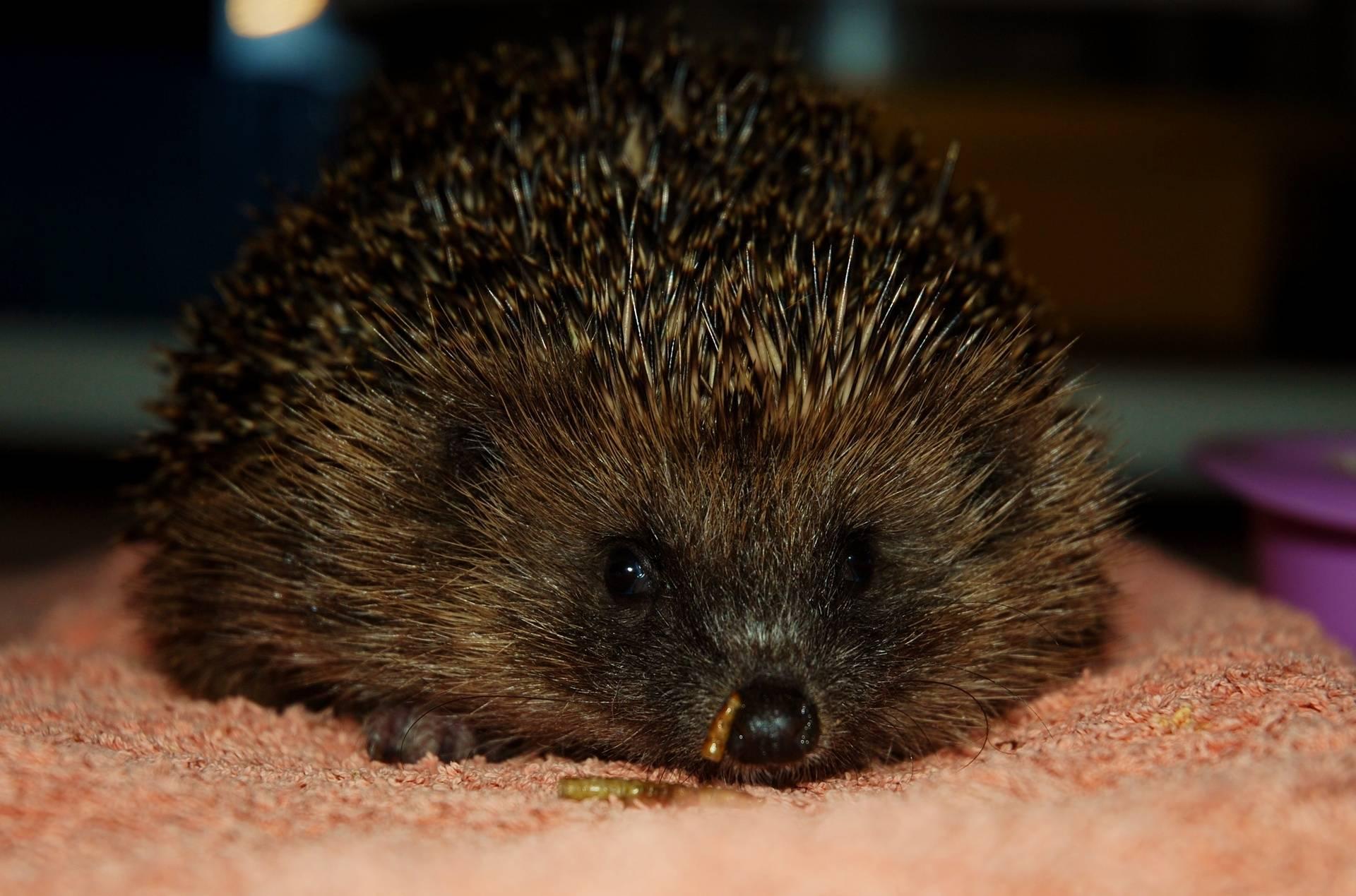 Adult Hedgehog