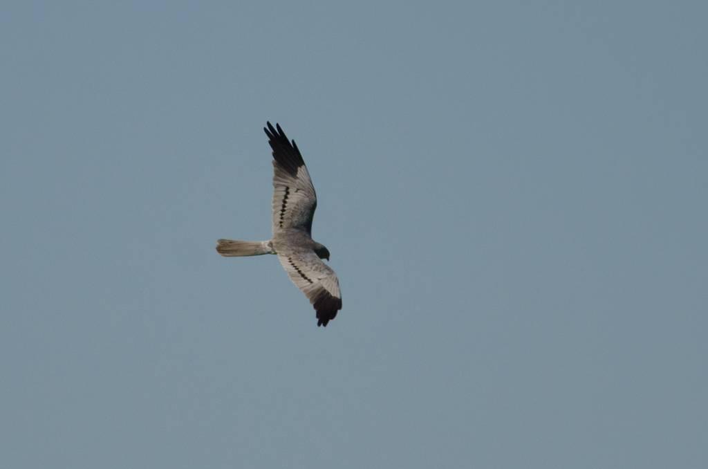 Montagu's Harrier