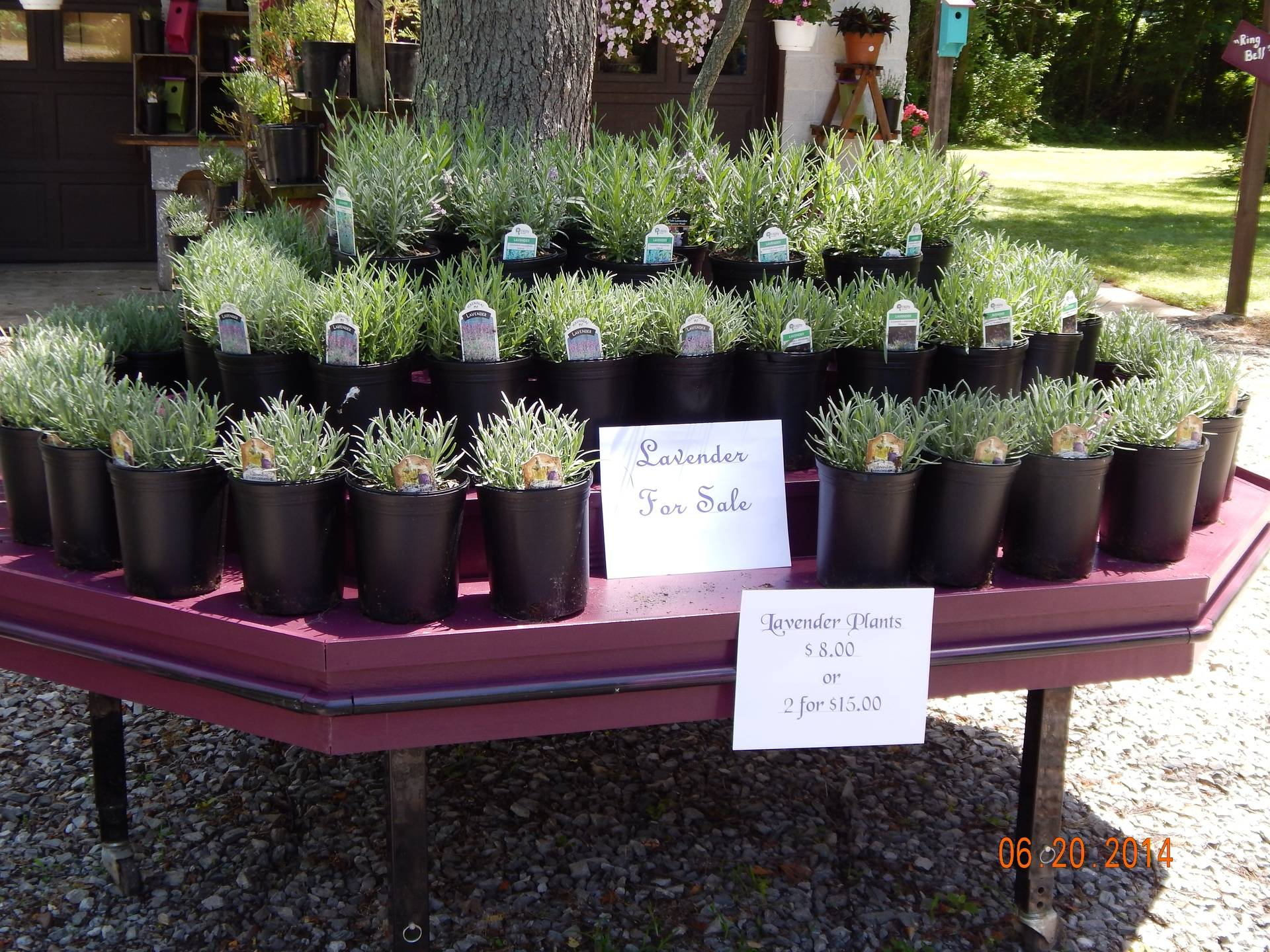 Lavenderplants for sale