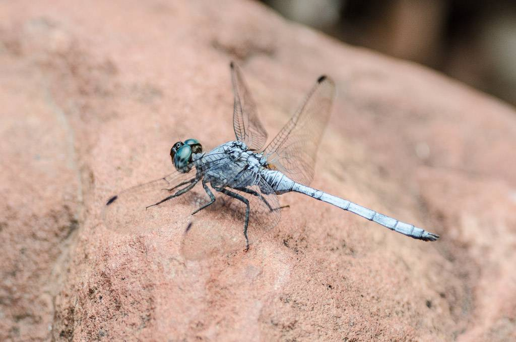 Dragonfly sp