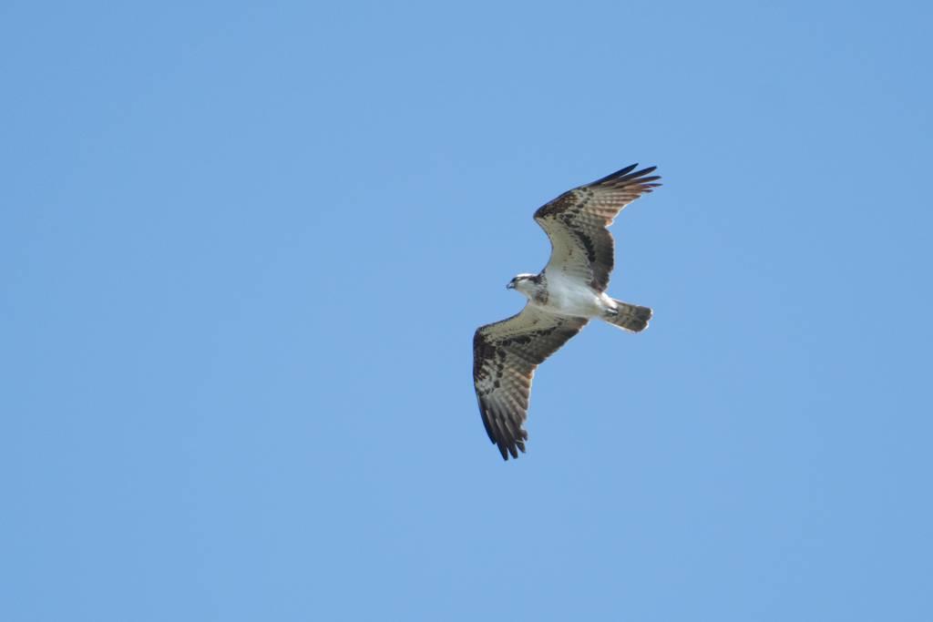 Osprey (BALBUZARD PECHEUR)