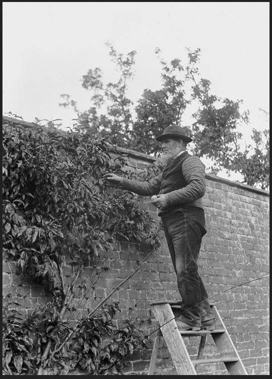 A gardener c.1910-20 tending his walled garden